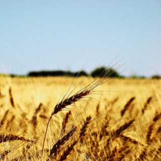 claudio ar - wheat fields ipad wallpaper