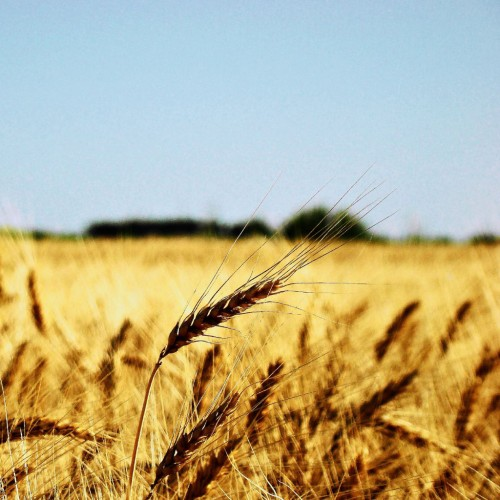Summer Wheat Field iPad Wallpaper