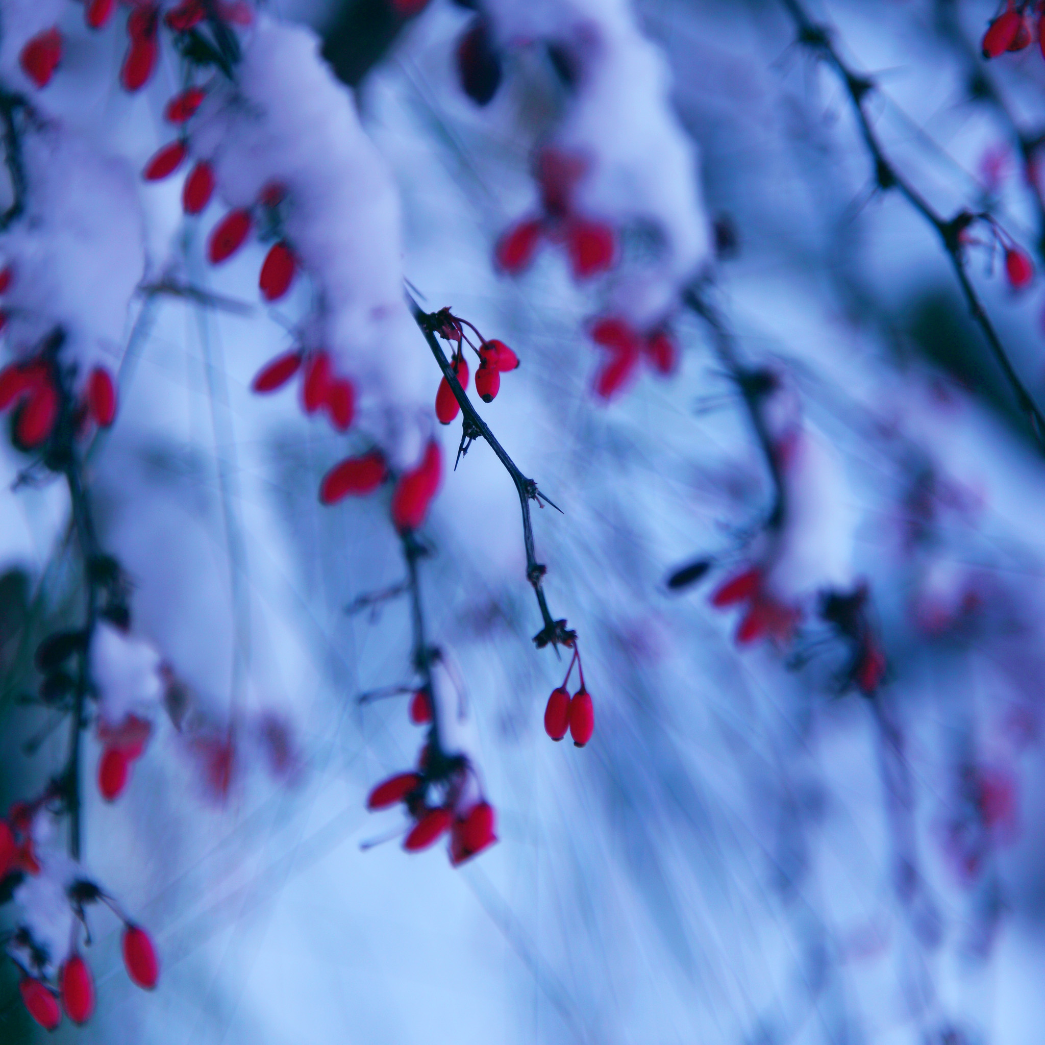 d sharon pruitted - red winter berries ipad wallpaper