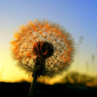 davebluedevil - dandelion at sunrise ipad wallpaper