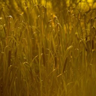 david wheeldon - golden reeds ipad wallpaper