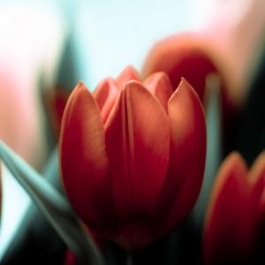 harold lloyd - red tulip flower ipad wallpaper