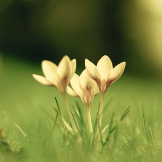 harold.lloyd - crocus ipad wallpaper