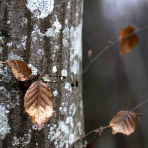 jenny downing - birch tree ipad wallpaper