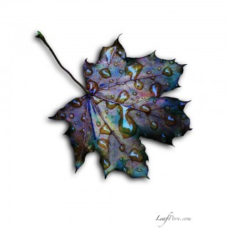 undergroundbastard - dead maple leaf with some water drops ipad wallpaper