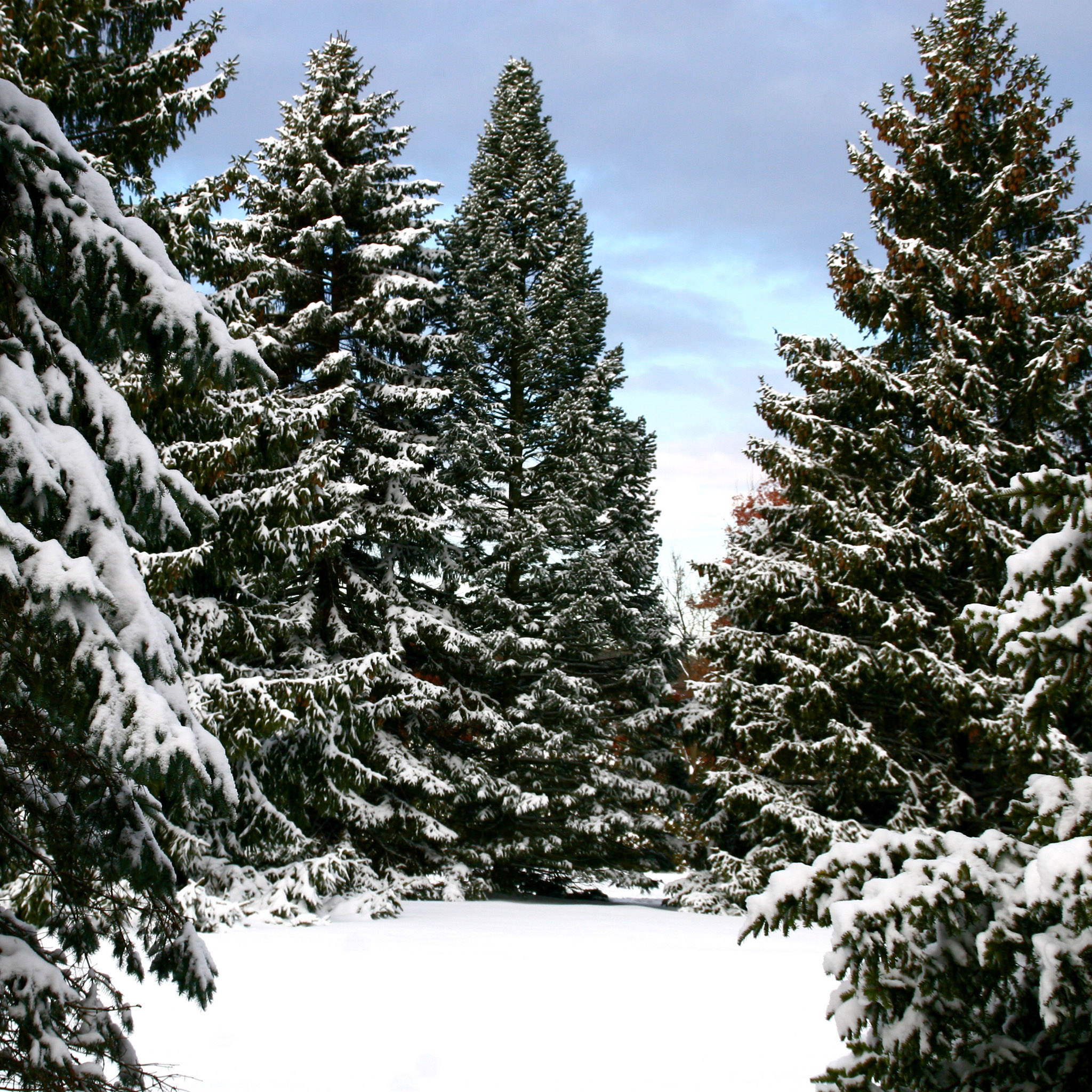 liz west - snowy spruce trees landscape ipad wallpaper