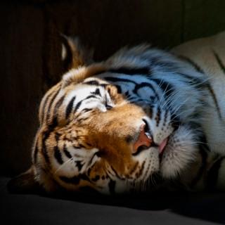 tomgehrke - sleeping tiger ipad wallpaper